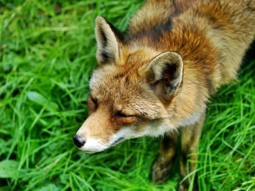 Zapobiegają wściekliźnie lisów