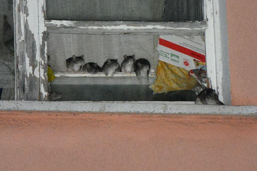 Wideo: Tak ze szczurzą plagą żyło się przy Kączkowskiego - foto: nadesłane przez czytelników