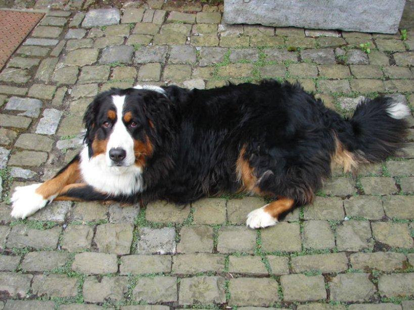 Ukradł psa wartego 2 000 zł - foto: Min's / wikipedia.org