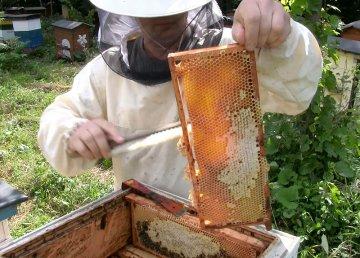 Wideo: Każda pszczoła jest na wagę złota