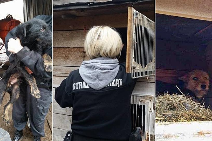 Miłkowice: Zwłoki, głód, cierpienie zwierząt. Gospodarstwo skrywało horror - foto: Kaliskie Stowarzyszenie Pomocy dla Zwierząt HELP ANIMALS - Straż Zwierząt