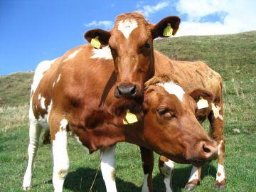 Pomoc dostosowawcza dla producentów mleka...