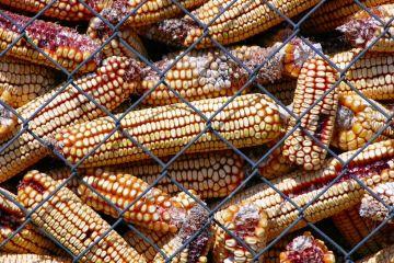 PIAST - JMEN: Nie dla GMO!
