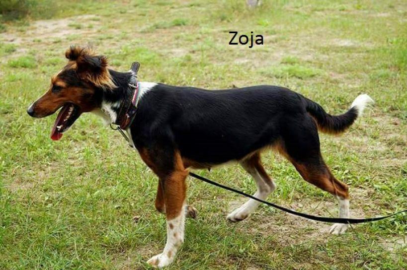 Zoja-sunieczka w typie owczarka collie
