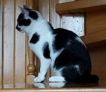 Kicia- koteczka w wieku około 4 miesięcy