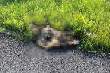 Kaczki Średnie: Martwy, rozszarpany przez psy,...