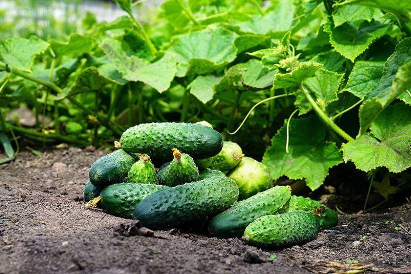 Najważniejsze zagadnienia w uprawie ogórków