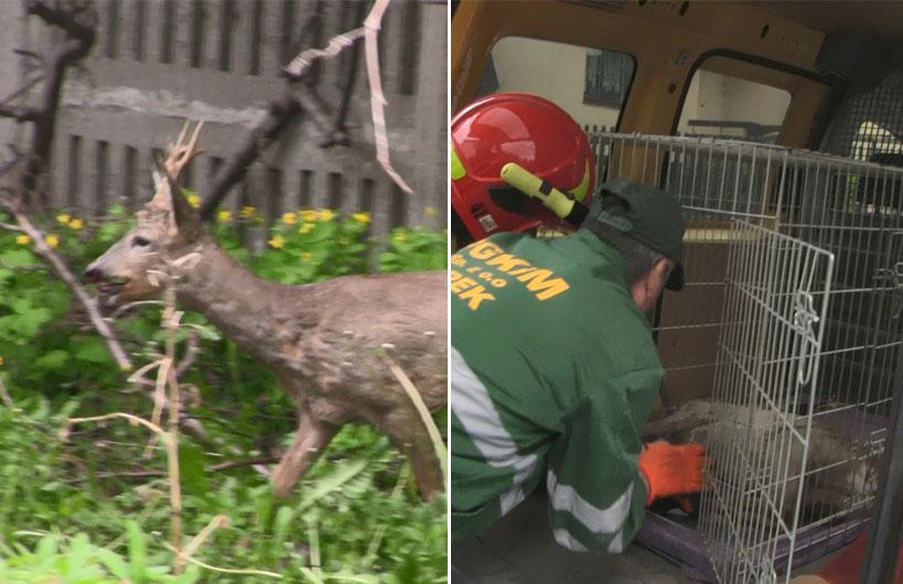 Wideo: Młody koziołek wraca do lasu! Zwierzę utknęło na jednej z posesji, uwolnili go strażacy i pracownicy PGKIM