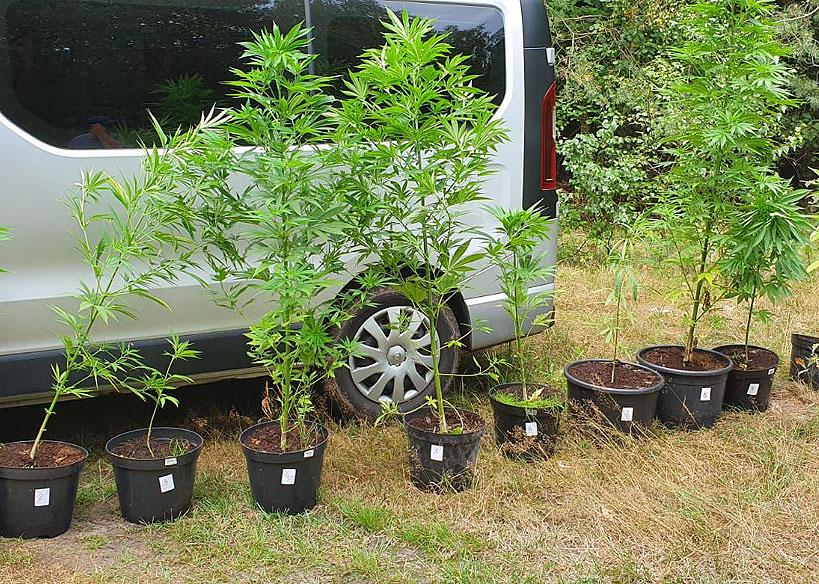 Nielegalna uprawa marihuany w gminie Tuliszków zlikwidowana. - foto: KPP Turek