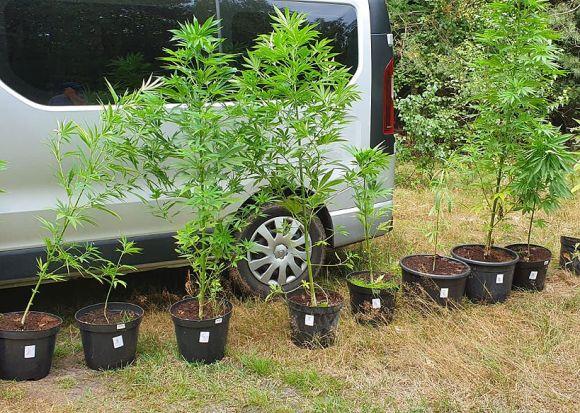 Nielegalna uprawa marihuany w gminie Tuliszków...
