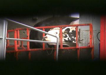 Wideo: Bestialstwo w rzeźni pod Dobrą....