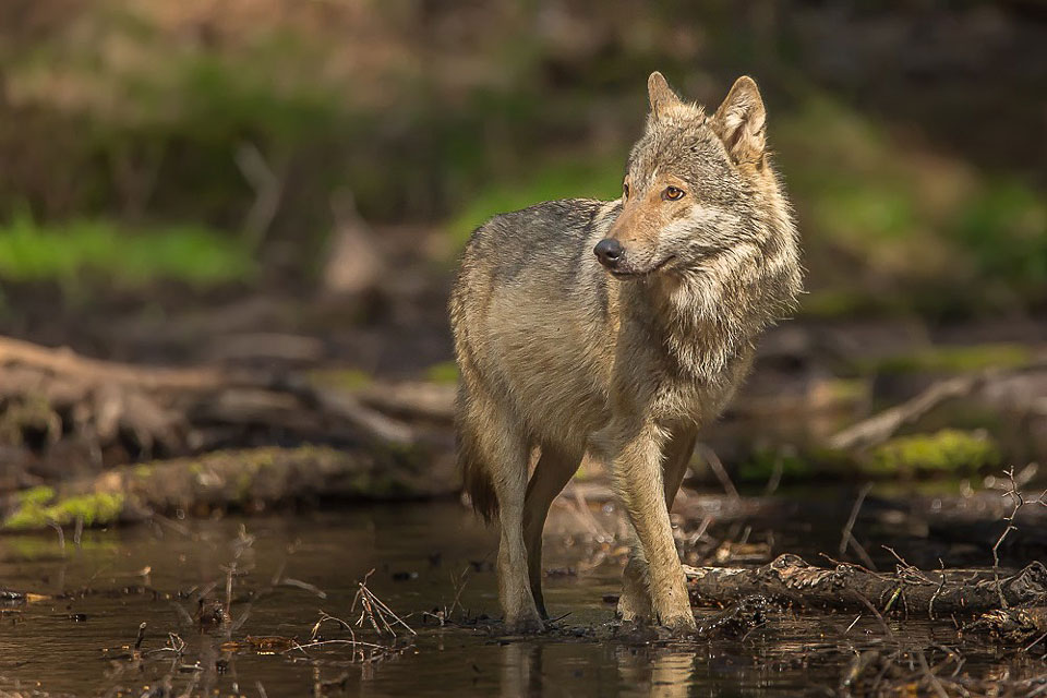 Oko w oko z wilkiem w turkowskich lasach. - Wilk Szary w Nadleśnictwie Turek 2020 / fot. Karol Fornalczyk