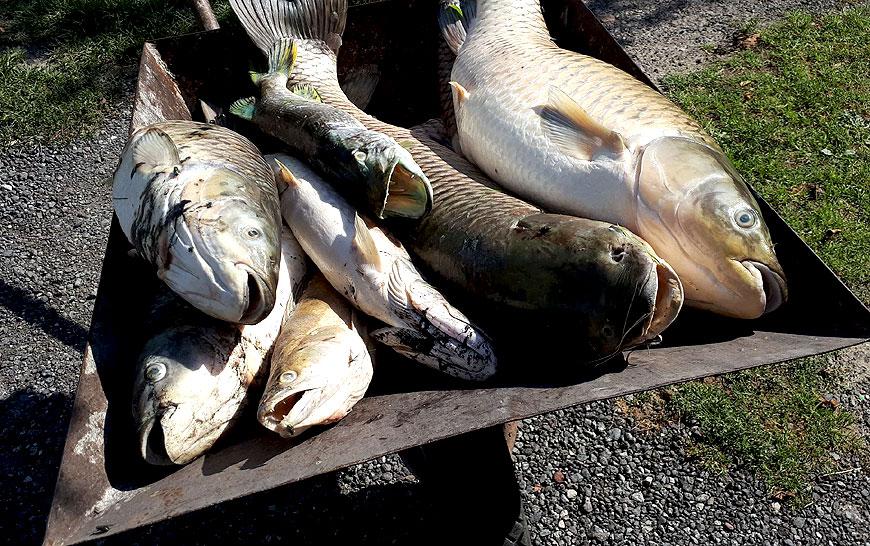 W dobrskim stawie zatruło się około pół tony ryb. Sprawę wyjaśniają policjanci