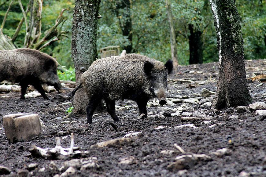 Rolnicy z gminy Malanów mogą zgłaszać szkody łowieckie - fot. Jamie92/Pixabay.com