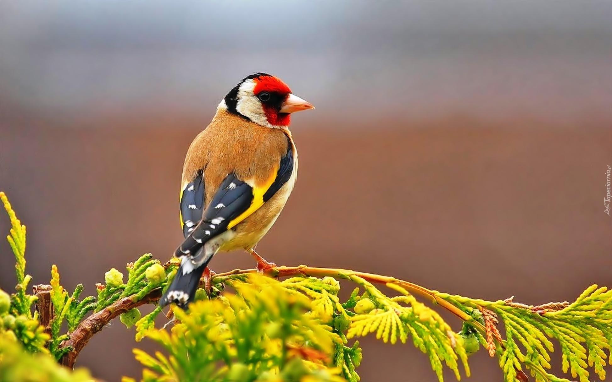 Weekend z OTOP: Szczygieł - niezwykle towarzyski ptak o charakterystycznym upierzeniu i świergotliwym śpiewie.