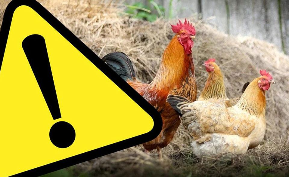 Dwie gminy powiatu tureckiego zagrożone ptasią grypą. Wojewoda wydaje rozporządzenie.