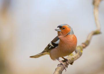Weekend z OTOP: Zięba - pospolity ptak o...