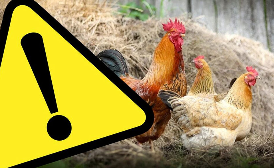 Obszar zagrożony ptasią grypą poszerzony o kolejne miejscowości gmin Kawęczyn i Dobra
