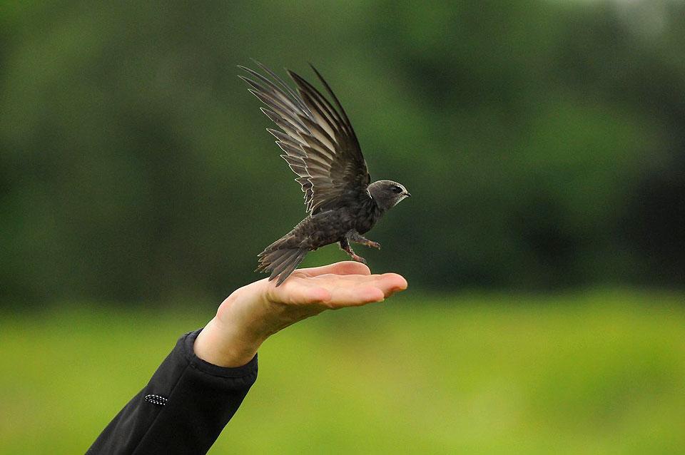 Weekend z OTOP: Jerzyk (Apus apus) - ptak przestworzy